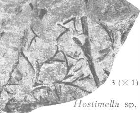 Fig. 3 - Hostimella sp. Grandeur naturelle