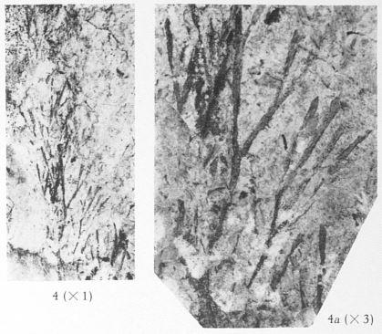 Fig. 4, 4a - Hyenia elegans Kräusel & Weyland. 4 (L) : Grandeur naturelle ; 4a (R) : Le même spécimen agrandi 3 fois