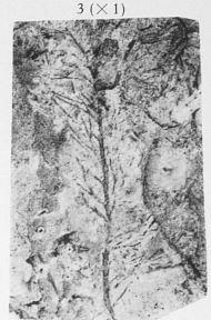 Fig. 3 - Hyenia elegans Kräusel & Weyland. Grandeur naturelle