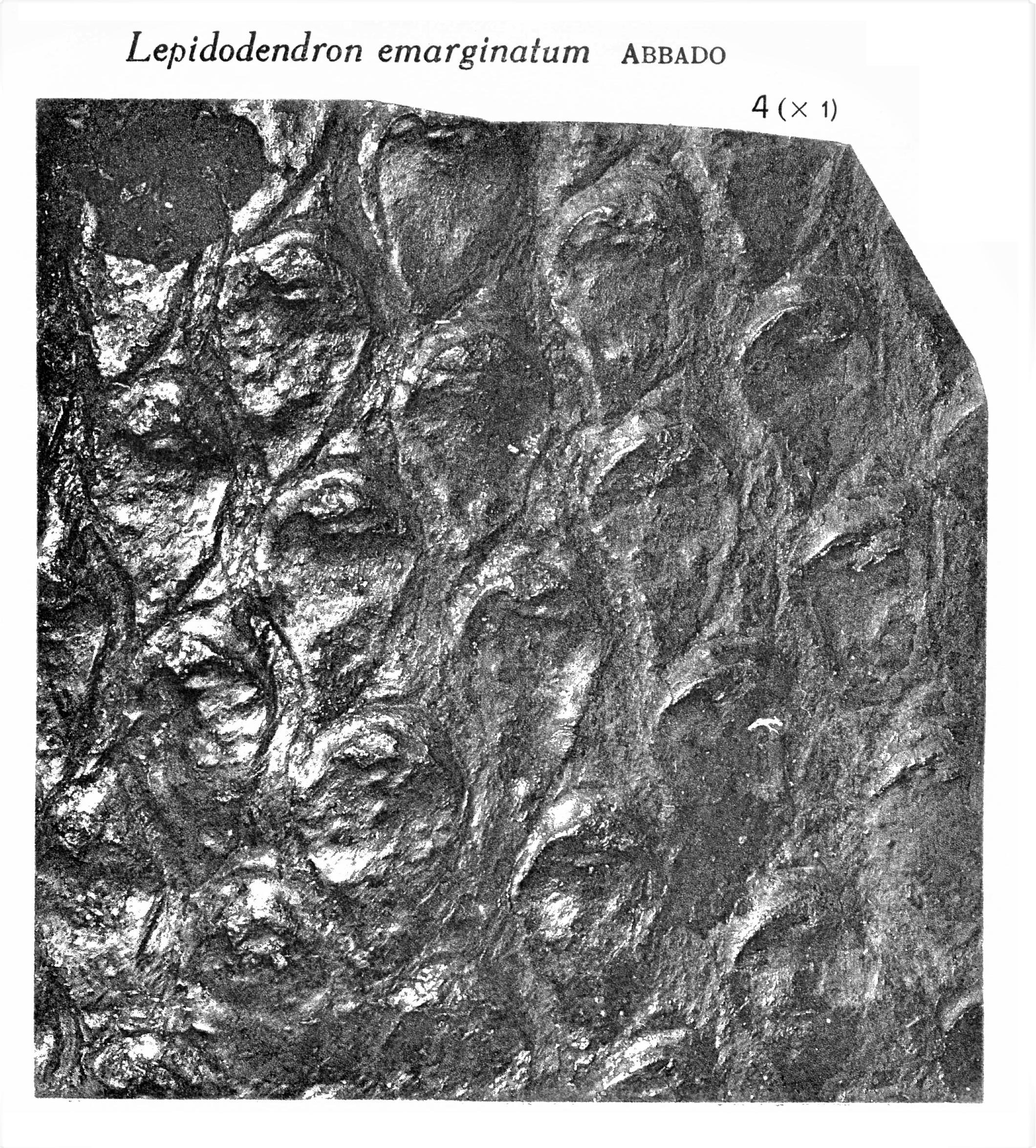 Pl. VIII ; Fig 4