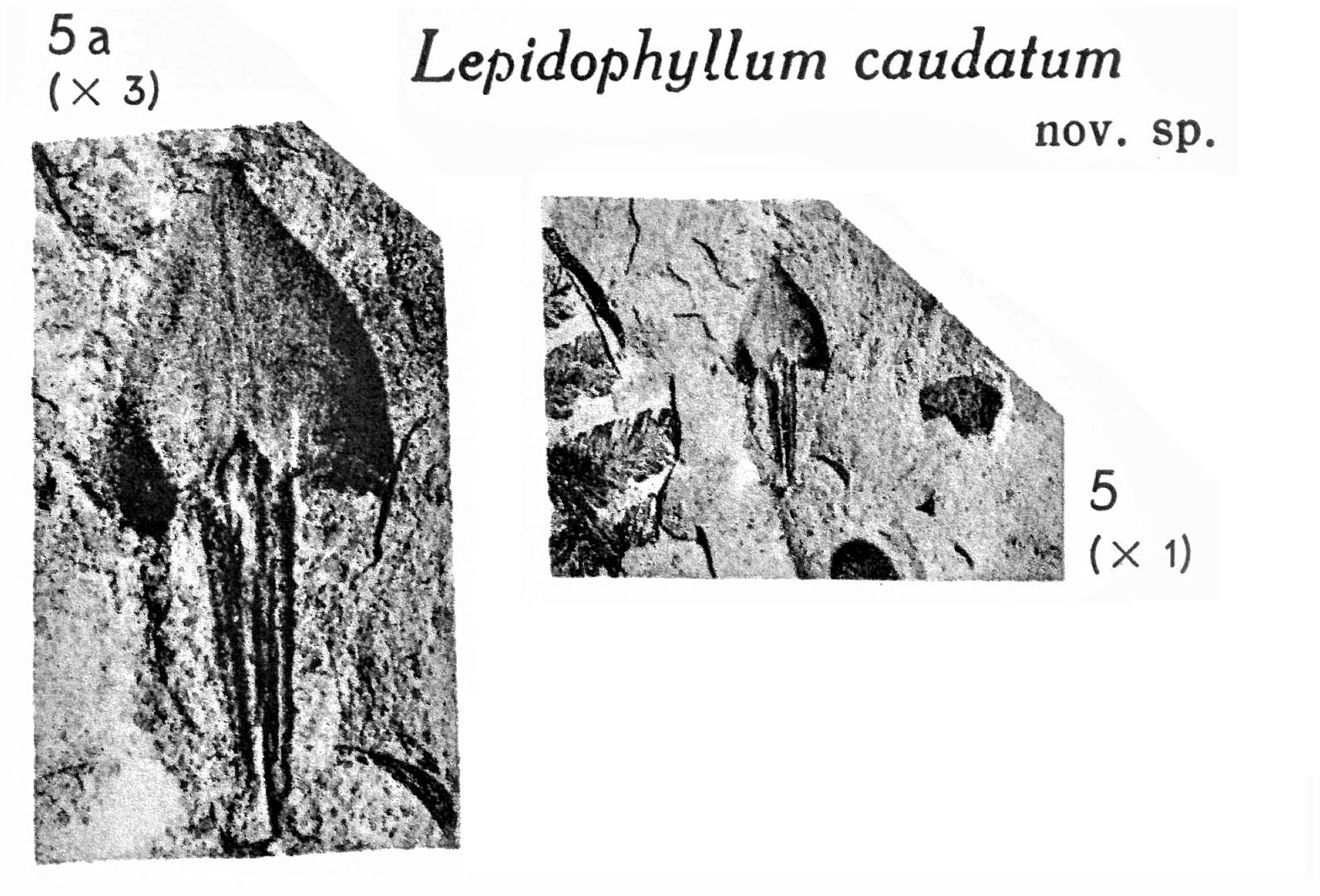 Pl. XI ; Fig 5, 5a
