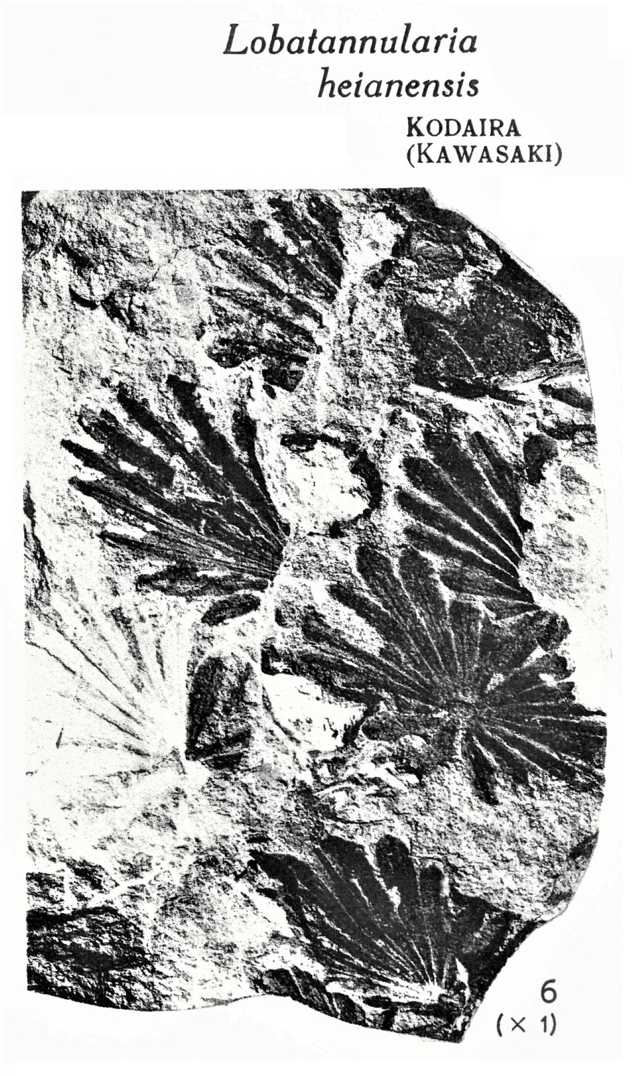 Pl. XV ; Fig 6