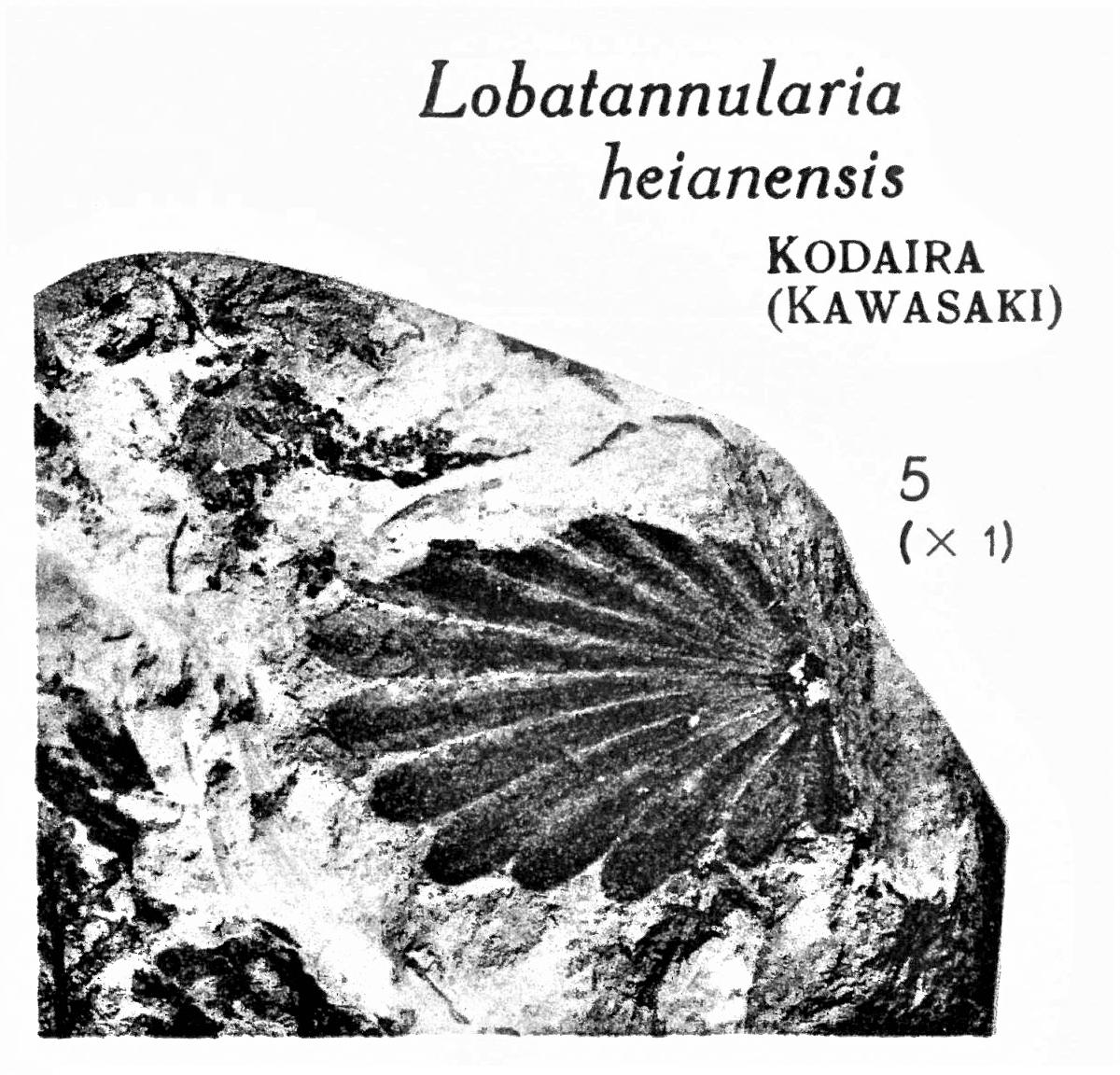 Pl. XV ; Fig 5