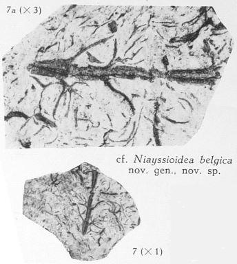 Fig. 7, 7a - 7 (D) : cf. Niayssioidea belgica nov. sp. Grandeur naturelle. 7a (U) : Le même spécimen agrandi 3 fois.
