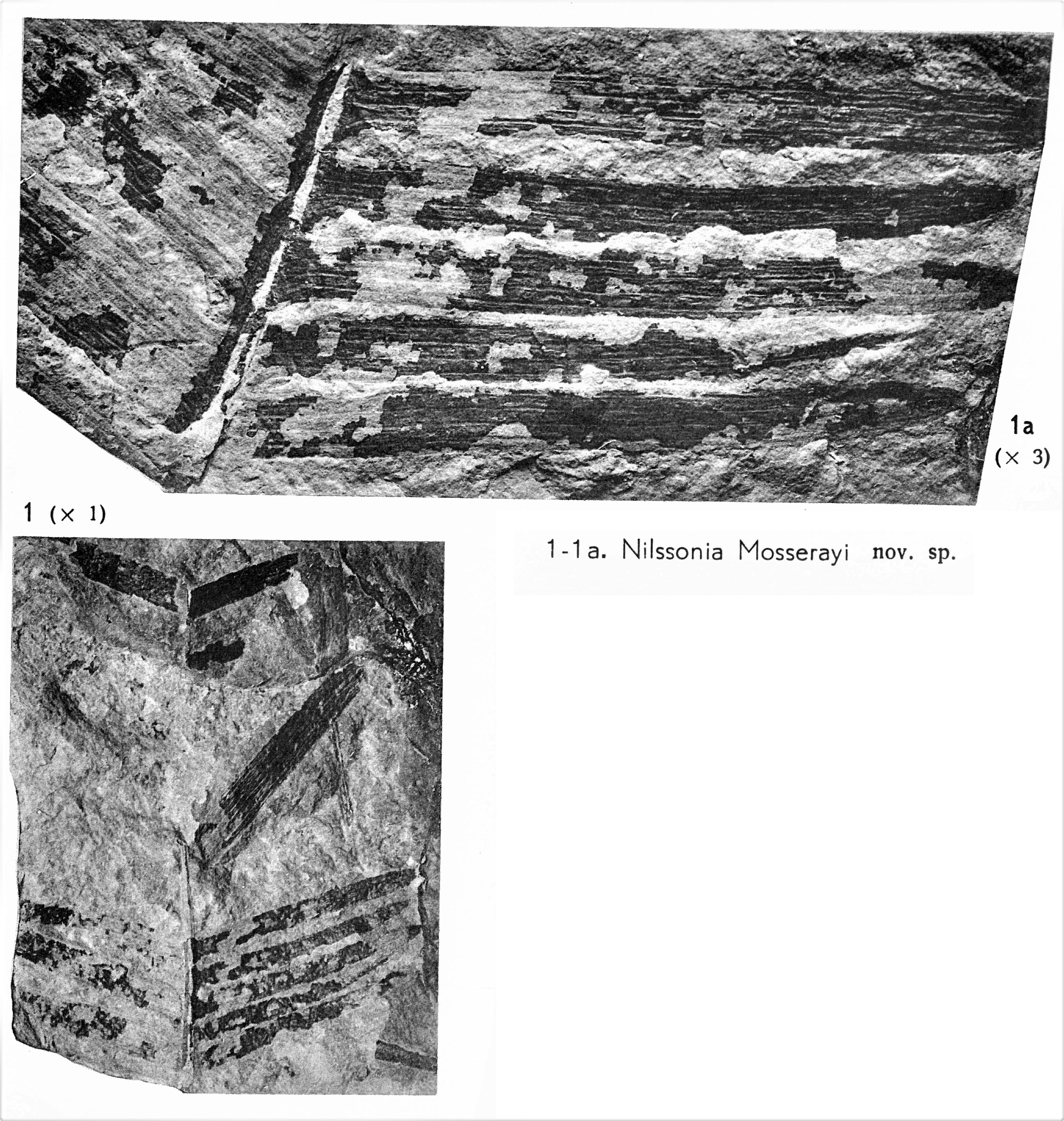 Pl. V ; Fig 1, 1a