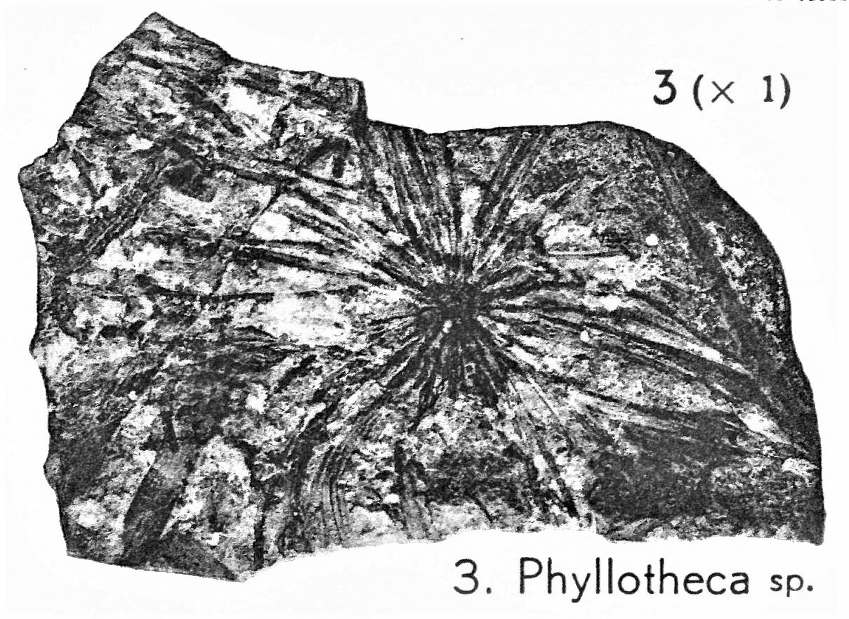 Pl. IV ; Fig 3