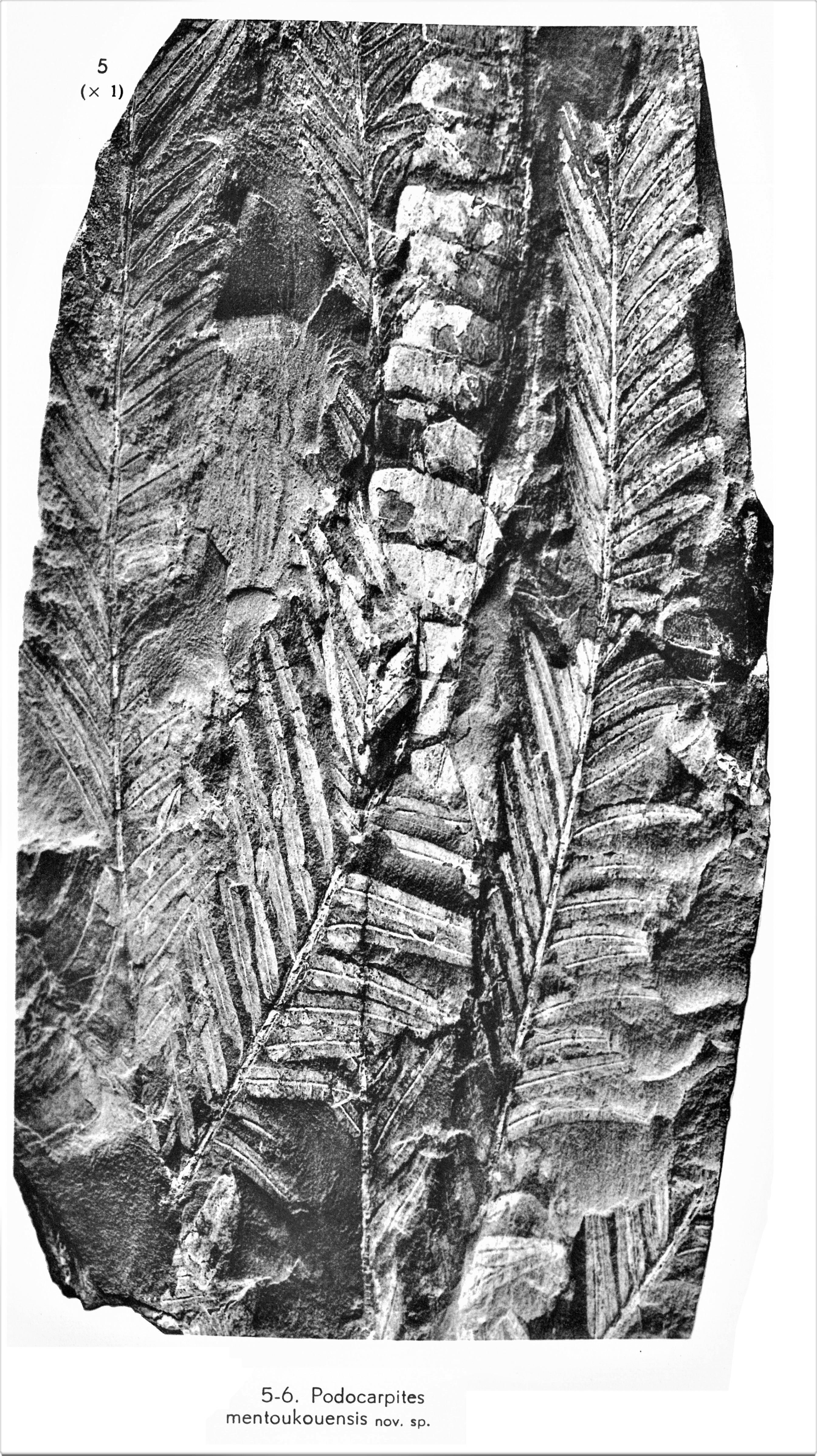 Pl. VII ; Fig 5