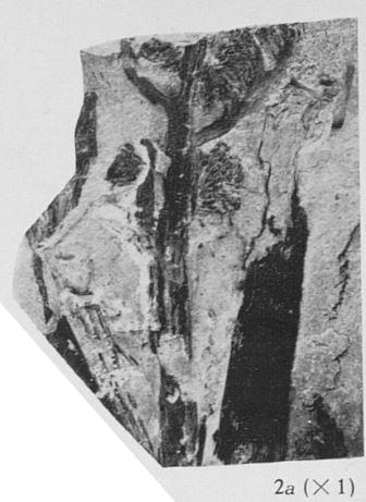 Fig. 2a - Contre empreinte du spécimen IRSNB b 7000. Grandeur naturelle