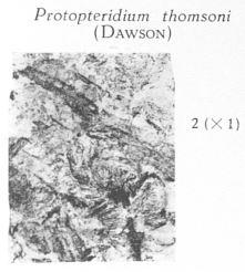 Fig. 2 - Protopteridium thomsoni (Dawson). Grandeur naturelle.