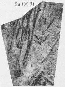 Fig. 9a - Fragment du même spécimen agrandi 3 fois