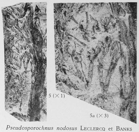 Fig. 5, 5a - 5 (L) : cf. Pseudosporochnus nodosus Leclercq & Banks. Grandeur naturelle. 5a (R) : sporanges agrandies 3 fois