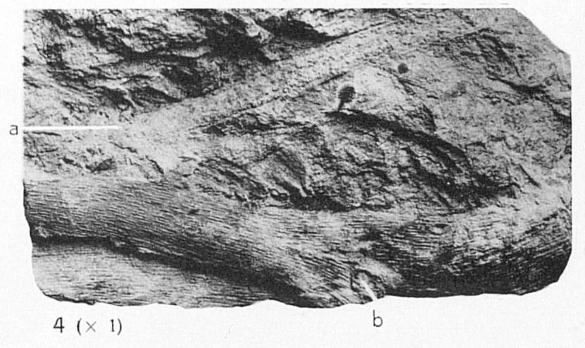 Fig 4a - Psilophyton goldschmidtii Halle