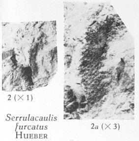 Fig. 2, 2a - Serrulacaullis furcatus Huber. 2 (L) : Grandeur naturelle. 2a (R) : Le même spécimen agrandi 3 fois.