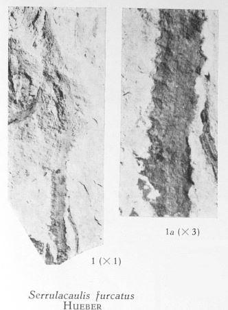 Fig. 1, 1a  - Serrulacaulis furcatus Hueber. 1 (L) : Grandeur naturelle. 1a (R) : Fragment du même spécimen agrandi 3 fois