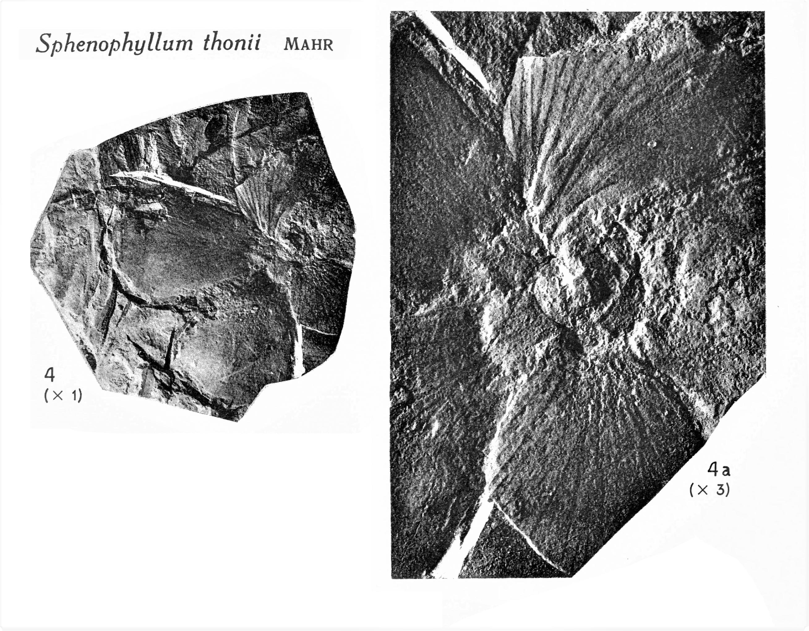 Pl. XV ; Fig 4, 4a