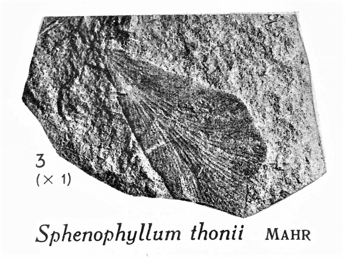Pl. XV ; Fig 3
