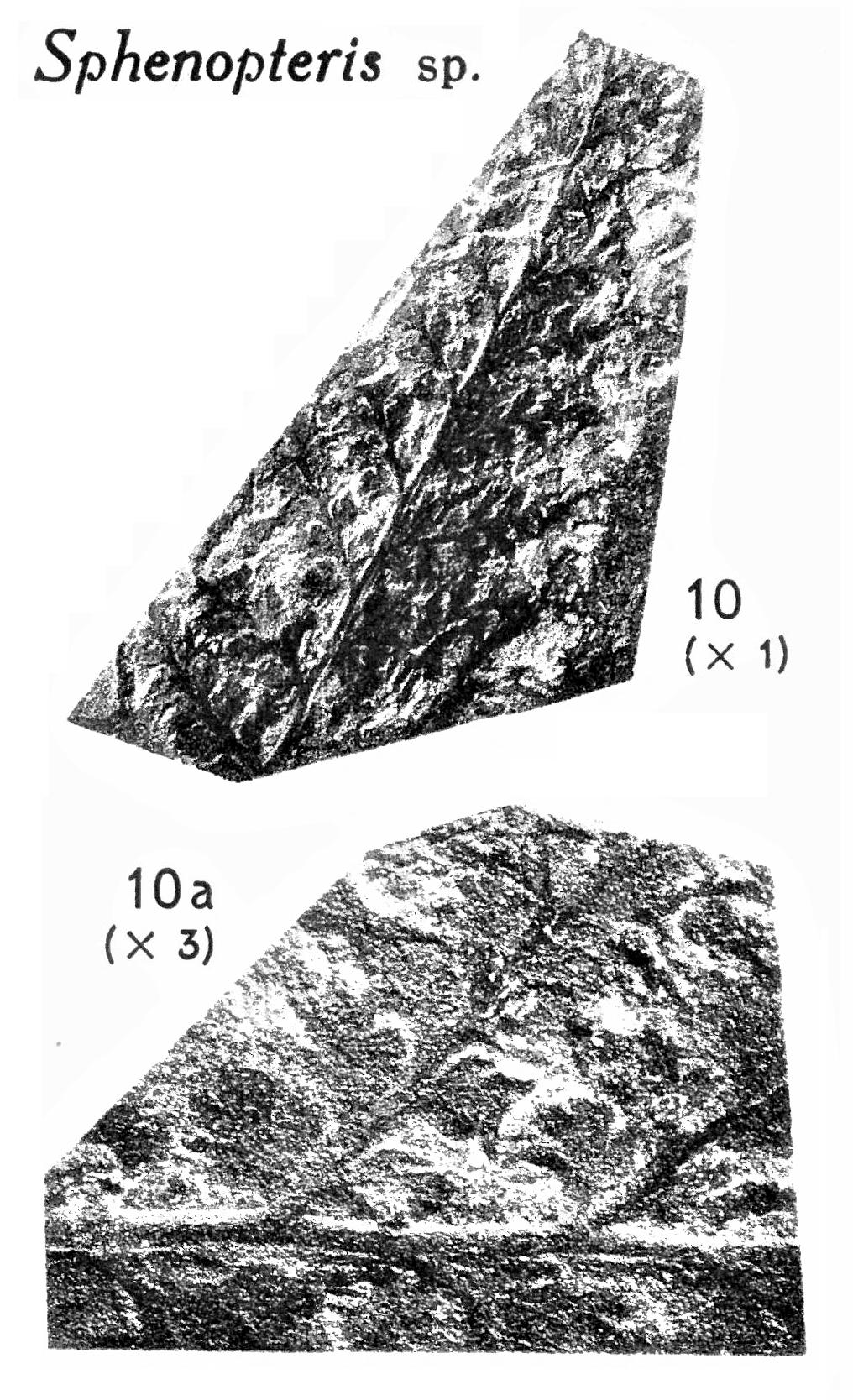 Pl. II ; Fig 10, 10a