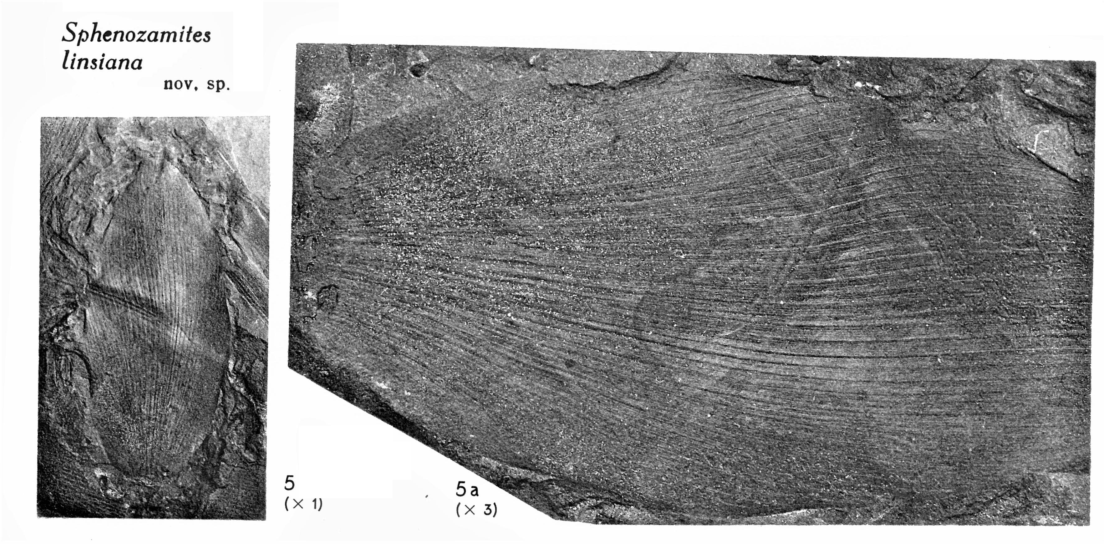 Pl. VII ; Fig 5, 5a