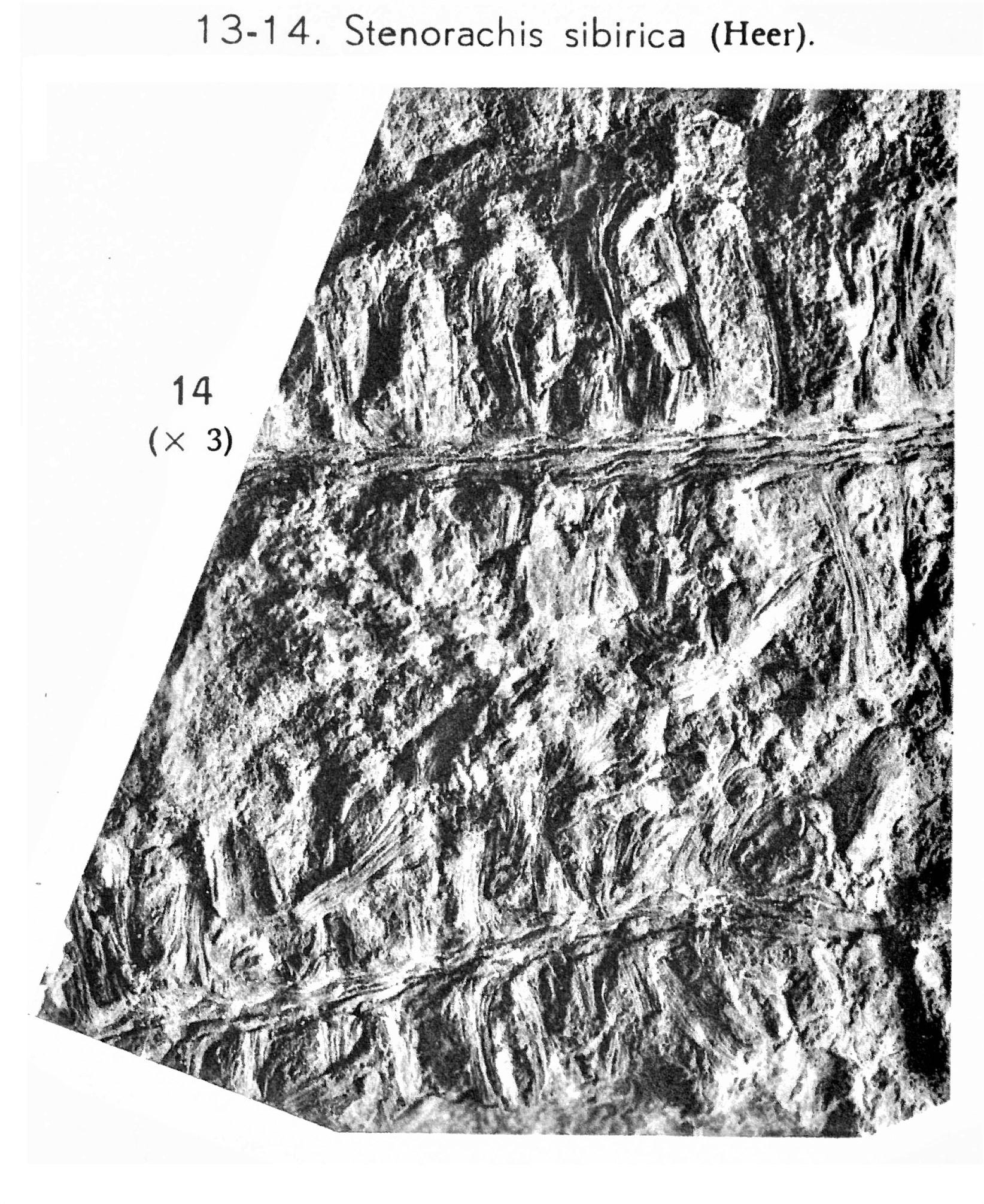 Pl. VI ; Fig 14