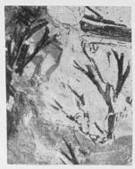 Fig. 2 - Svalbardia avelinesiana, nov. sp. Grandeur naturelle.