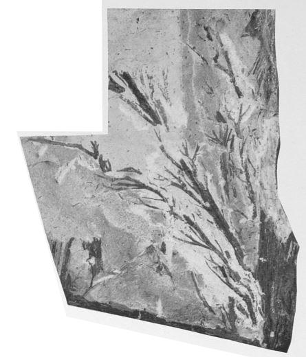 Fig. 3 - Svalbardia avelinesiana nov. sp. Grandeur naturelle.