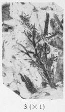 Fig. 3 - Svalbardia avelinesiana nov. sp. Sporanges en grandeur naturelle