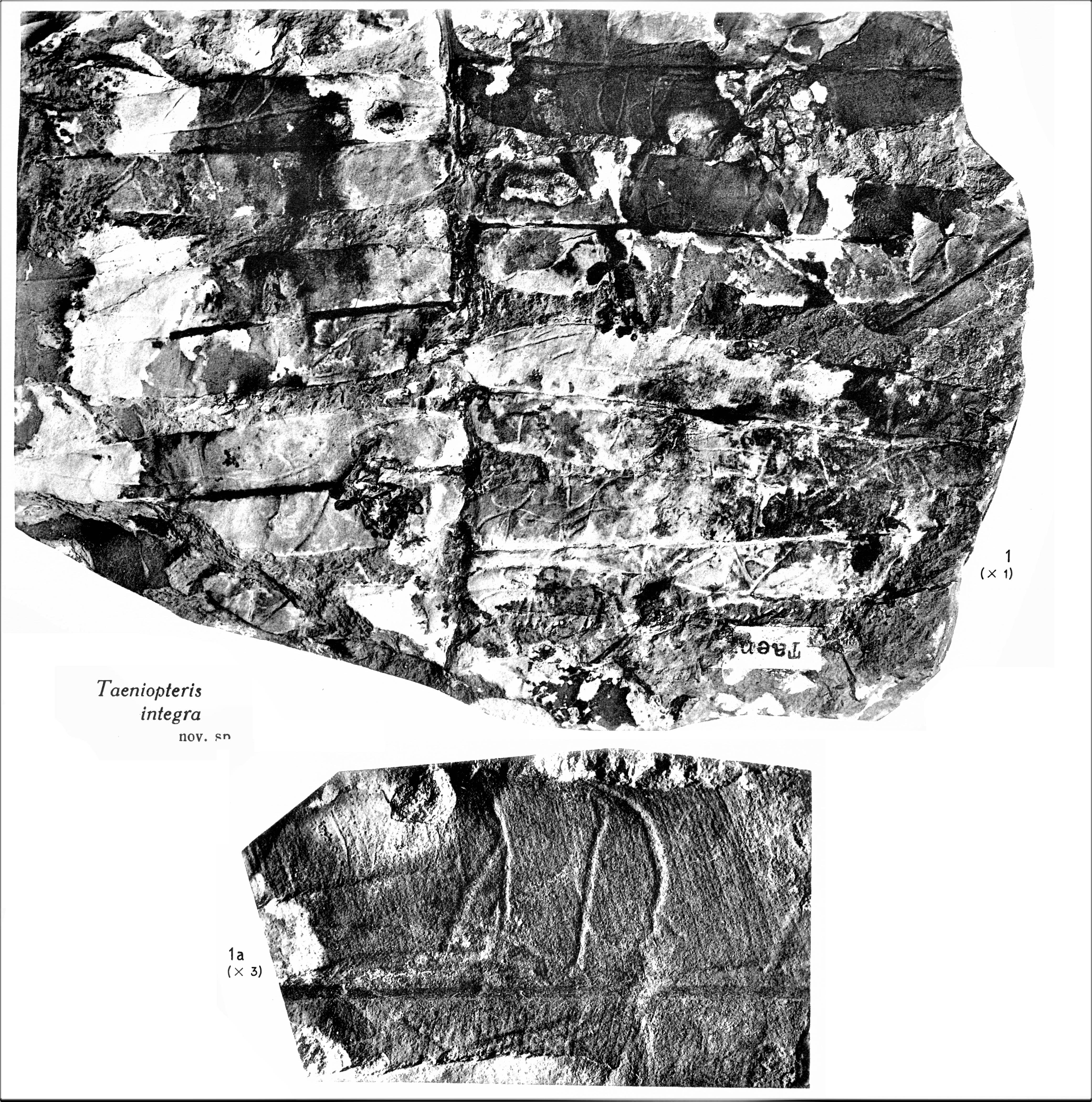 Pl. XIV ; Fig 1, 1a