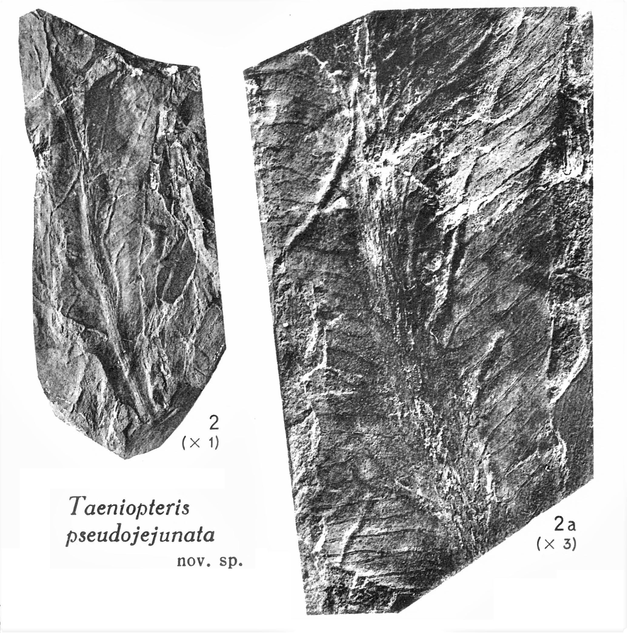 Pl. V ; Fig 2, 2a