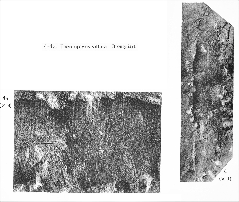 Pl. IV ; Fig 4, 4a