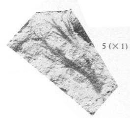 Fig. 5 - Thamnocladites vanopdenboschii nov. gen., nov. sp. Grandeur naturelle