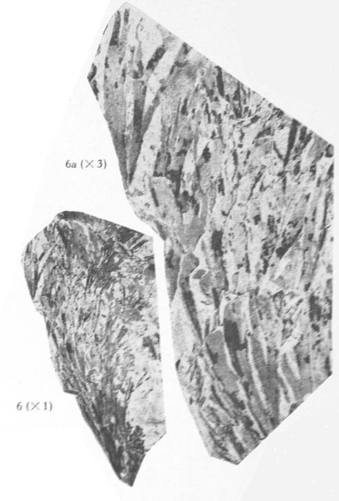 Fig. 6, 6a  - 6 : Thamnocladites vanopdenboschii nov. gen., nov. sp. Grandeur naturelle. 6a : Le même spécimen agrandi 3 fois