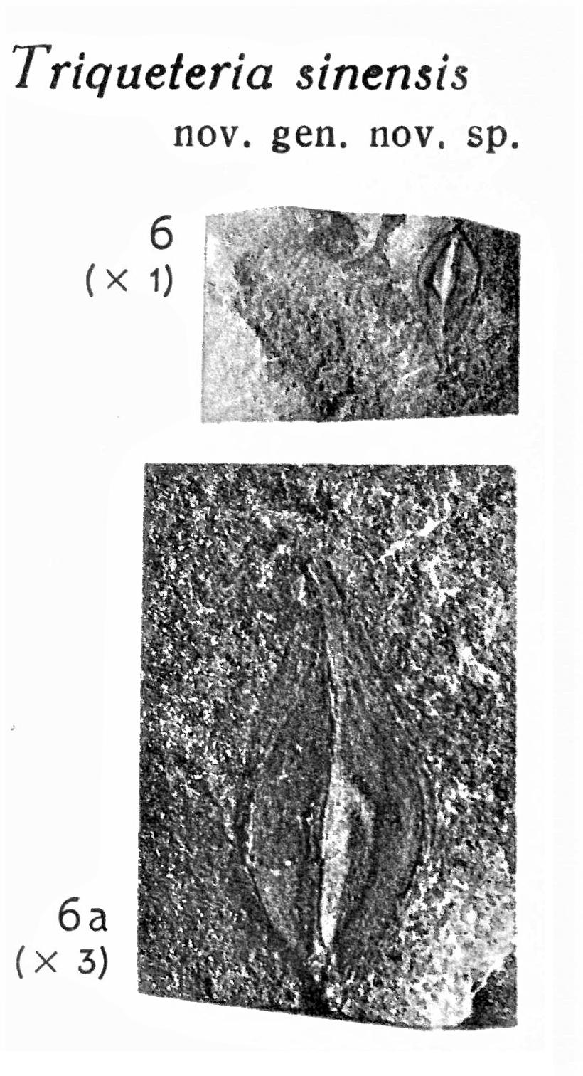 Pl. VII ; Fig 6, 6a