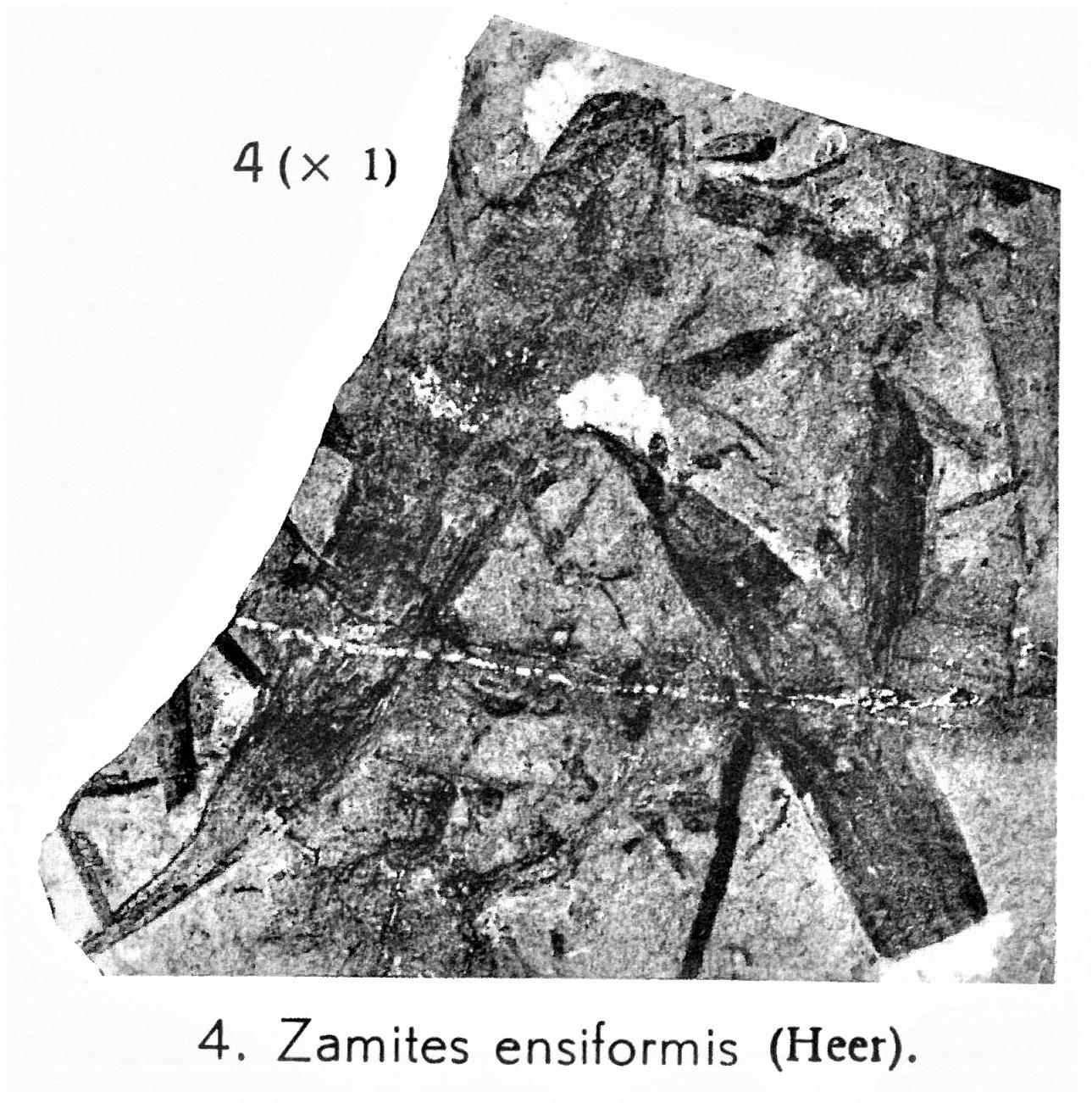 Pl. VI ; Fig 4