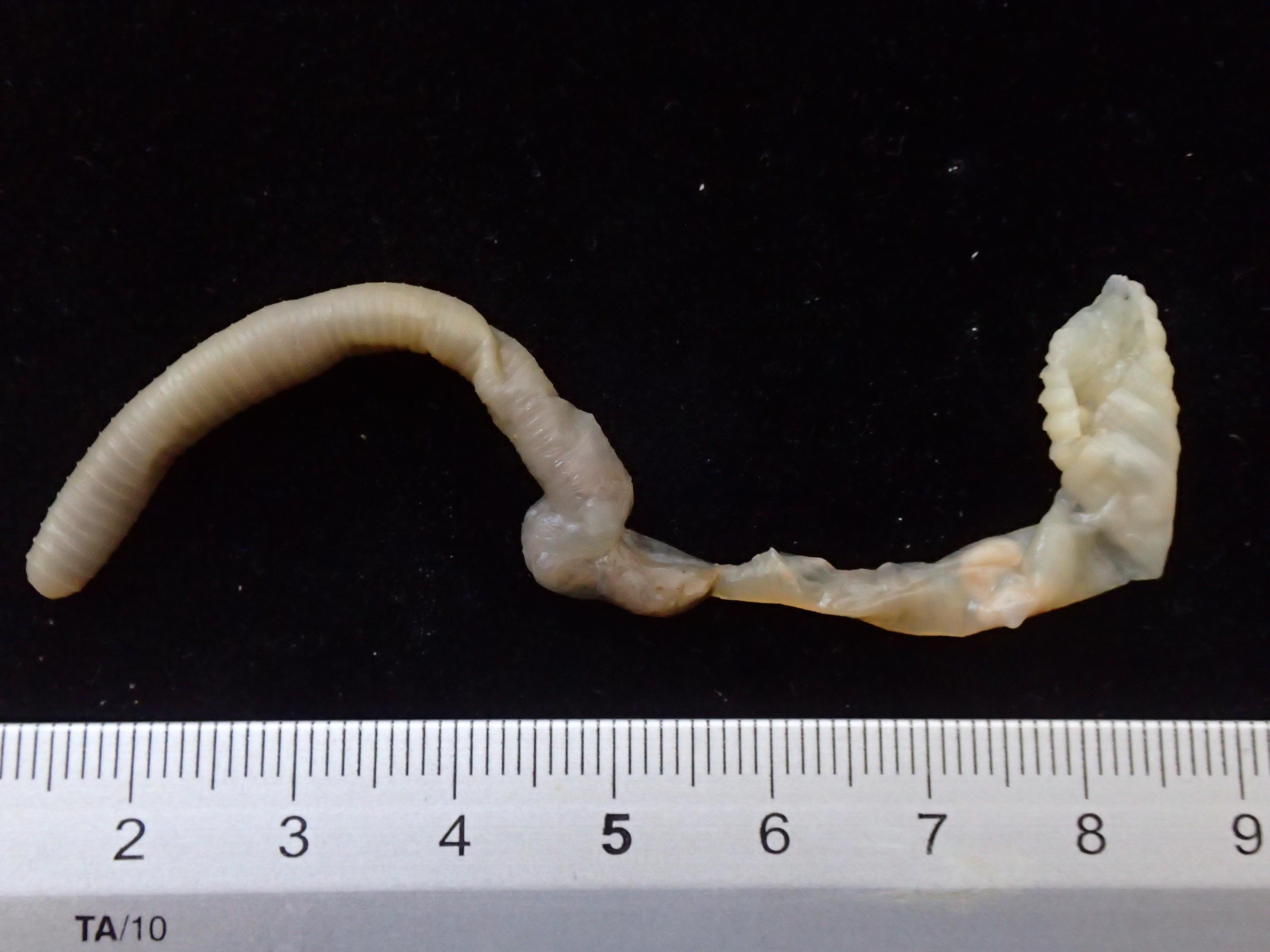 BE-RBINS-INV-TYPES-Pheretima-baritoensis-PHOTO-2.JPG