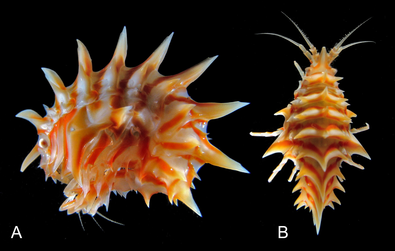 Plate-0-Epimeria-oxicarinata.jpg
