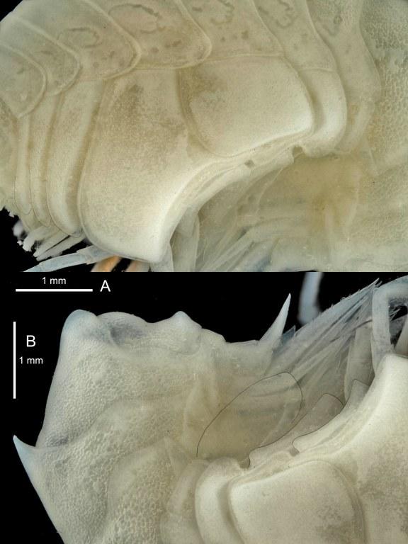 BE-RBINS-INV PARATYPE INV.122519 Epimeria (Subepimeria) grandirostris plate number two.jpg