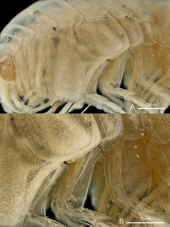 BE-RBINS-INV PARATYPE INV.122525 Epimeria (Subepimeria) grandirostris plate number two.jpg