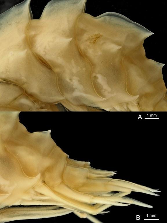 BE-RBINS-INV HOLOTYPE FEMALE INV.122470 Epimeria (Drakepimeria) leukhoplites plate number five.jpg