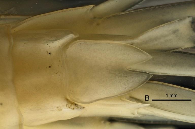 BE-RBINS-INV HOLOTYPE FEMALE INV.122470 Epimeria (Drakepimeria) leukhoplites telson.jpg