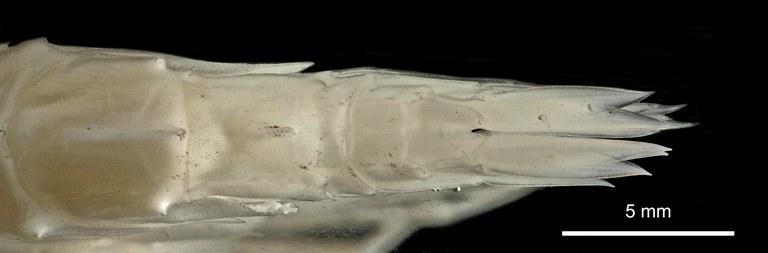 BE-RBINS-INV HOLOTYPE FEMALE ADULT INV.122942 Epimeria (Drakepimeria) colemani urosome in dorsal view.jpg