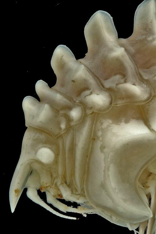 BE-RBINS-INV NO TYPE FEMALE INV.122946 Epimeria (Pseudepimeria) grandirostris head and anterior segments in lateral view.jpg