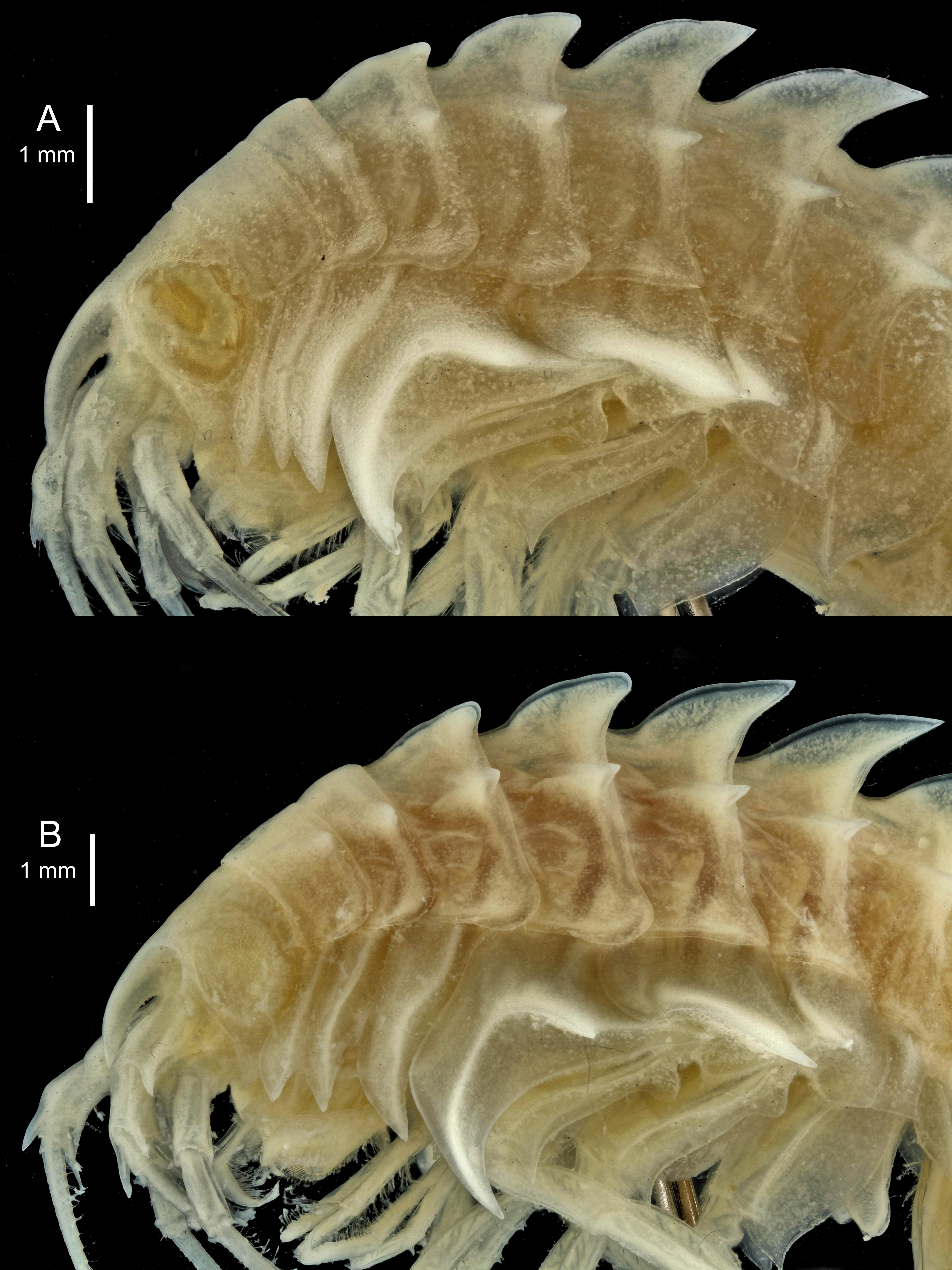 Epimeria similis Chevreux, 1912