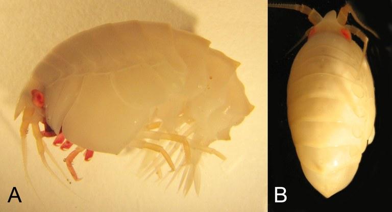 BE-RBINS-INV NO TYPE FEMALE INV.1132985 Epimeria (Hoplepimeria) robustoides plate number one.jpg