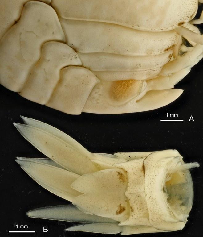 BE-RBINS-INV HOLOTYPE FEMALE INV.122936 Epimeria (Hoplepimeria) cyphorachis plate number four.jpg