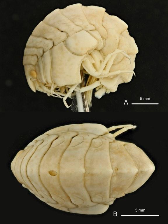 BE-RBINS-INV HOLOTYPE FEMALE INV.122936 Epimeria (Hoplepimeria) cyphorachis plate number one.jpg