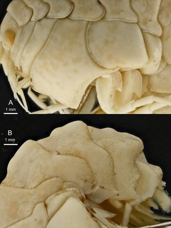 BE-RBINS-INV HOLOTYPE FEMALE INV.122936 Epimeria (Hoplepimeria) cyphorachis plate number three.jpg