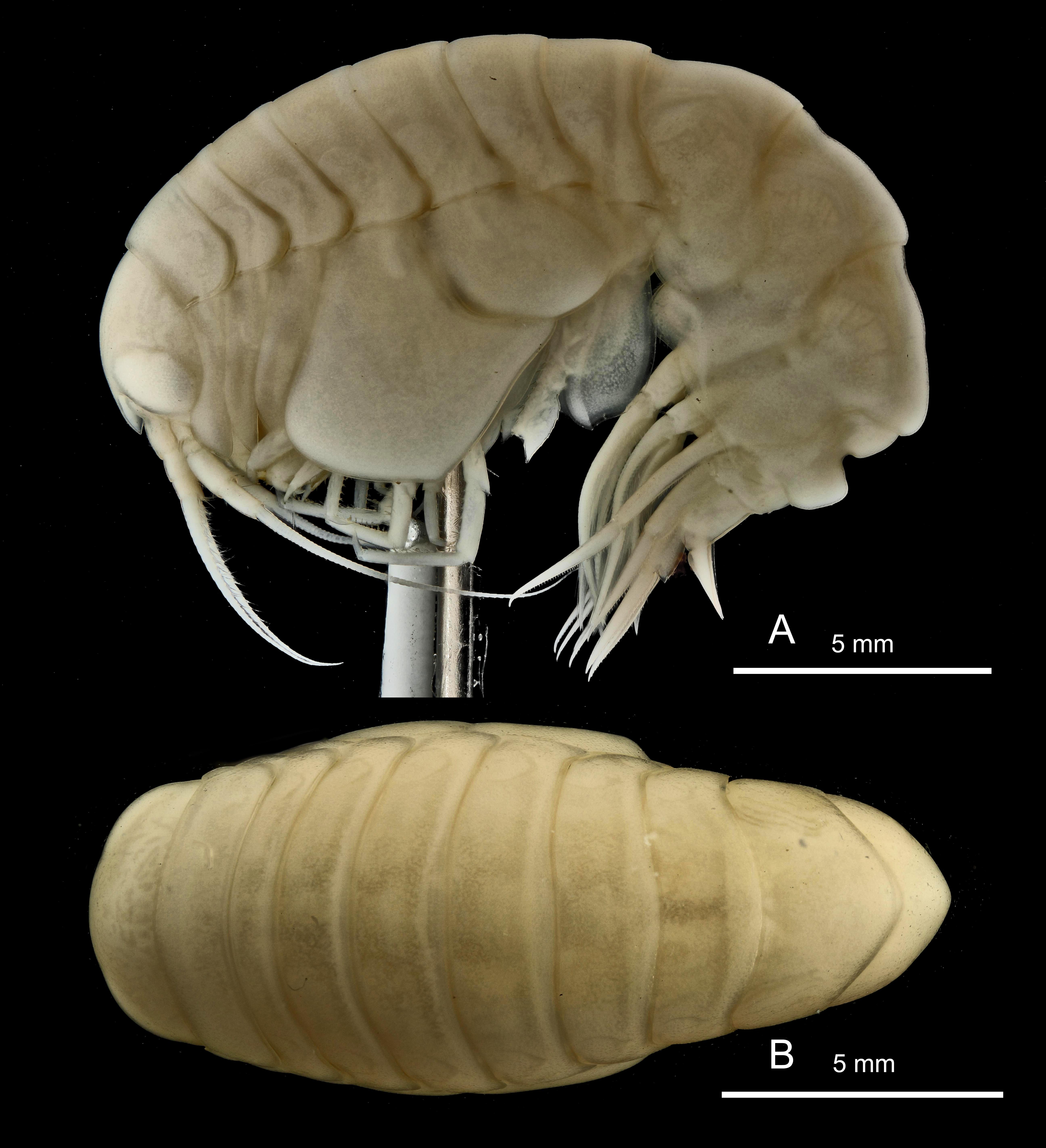 Epimeria walkeri (K.H. Barnard, 1930)