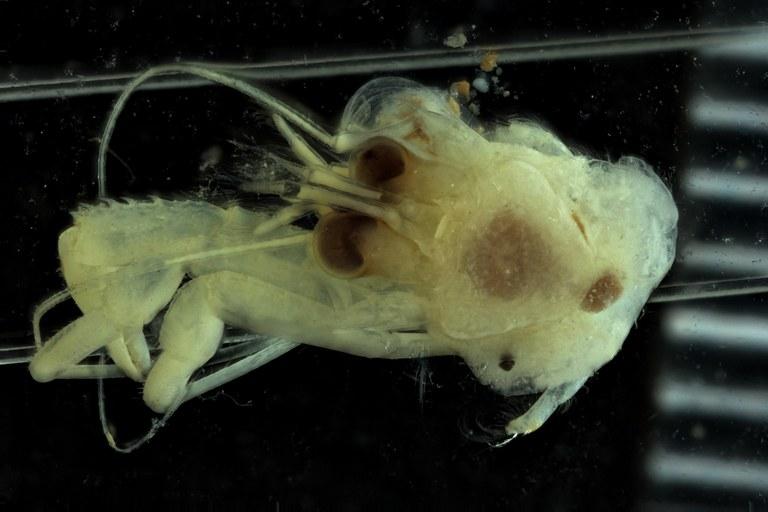BE-RBINS-INV HOLOTYPE MALE INV.13459 Anapagurus congolensis dorsal.jpg