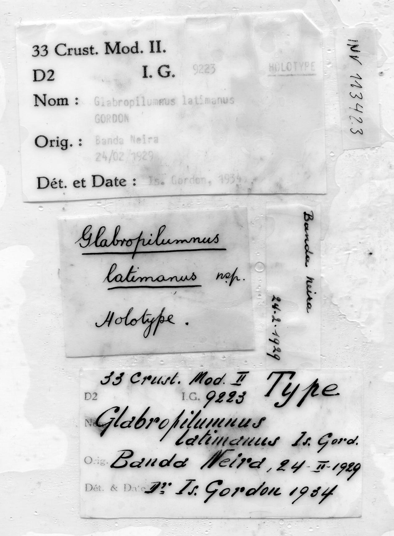 Lentipilumnus latimanus (Gordon, 1934) - label.