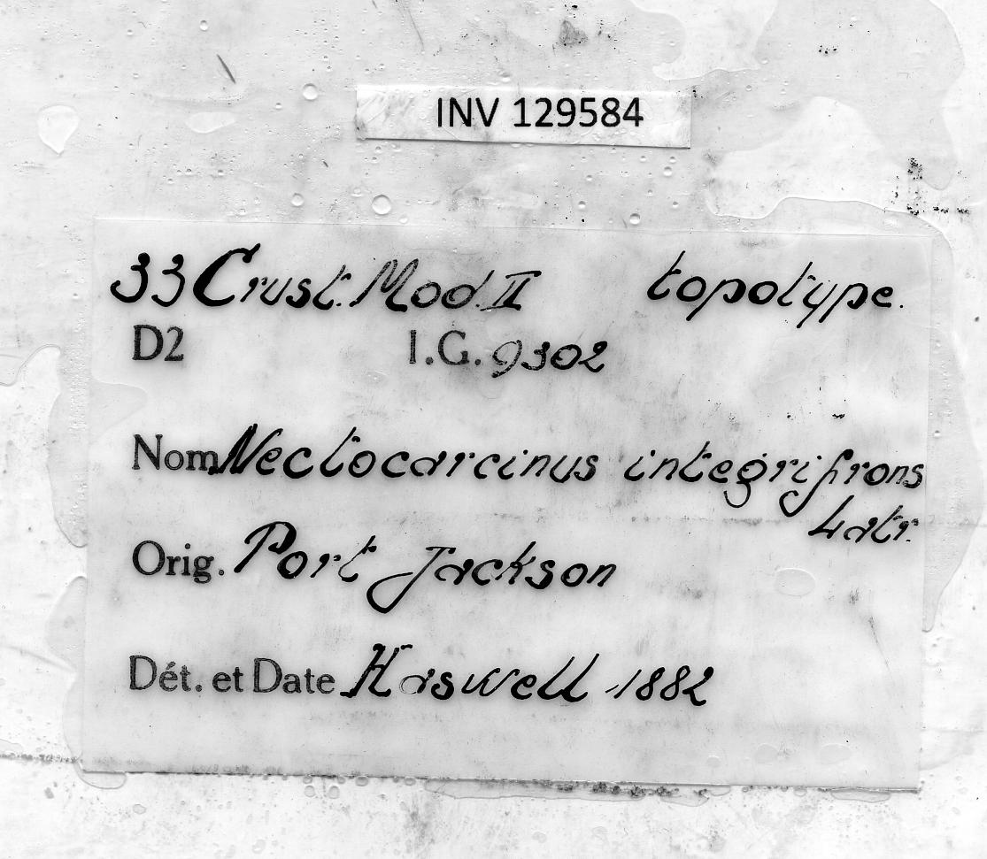 Nectocarcinus integrifrons (Latreille, 1825) - label.